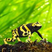The poison dart frog Dendrobates leucomelas in a rainforest. — Stock Photo