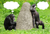 Two funny chimpanzees with speech bubles. — Stock Photo