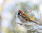 The male of a House Sparrow( Passer domesticus ) on a twig. — Stock Photo