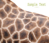 The giraffe skin — Stock Photo