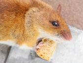 The mouse with her cheese. Close up with shallow DOF — Stock Photo