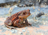 European toad — Stock fotografie