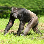 Chimpanzee walking on a grass. — Stock Photo