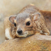 Funny animal portrait of The Rock Hyrax — Stock Photo