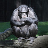 Worried Chimpanzee. — Stock Photo