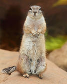 Funny animal portrait of The Prairie Dog — Stock Photo