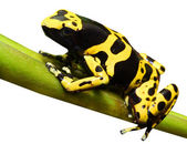 Yellow-banded poison dart frog - Dendrobates leucomelas — Stock Photo