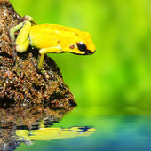The frog (Dendrobates) — Stock Photo