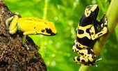 The frogs (Dendrobates) — Stock Photo