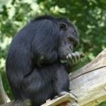 Chimpanzee — Stok fotoğraf #35439523