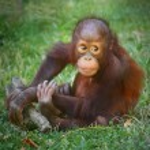 Young Bornean orangutan — Stock Photo #35430109