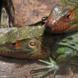 Two lizards — Stock Photo