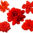 Red Begonia flowers — Stock Photo #35433351