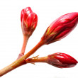 Oleander flower-bud — Stock Photo