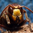European Hornet — Stock Photo