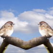 Fatty House Sparrows — Stock Photo #35438707