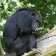 chimpansee — Stockfoto