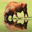 American Bison on a watering place — Stock Photo