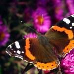 Butterfly Vanessa Atalanta — Stock Photo #35439633
