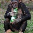 Chimpanzee and plastic bottle — Stock Photo