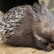 Porcupine in ZOO Prague — Photo