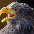 Screaming Eagle — Stock Photo