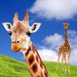 Two Giraffe — Foto de Stock