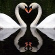 Swan's Hearts — Stock Photo