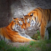 Tiger's couple. Love in nature. — Stock Photo