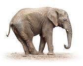 Female elephant — ストック写真