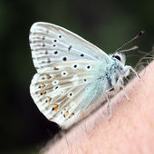 Rare butterfly Polyomnatus Icarus on skin — Stock Photo