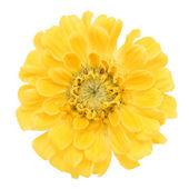 Yellow carnation — Stock Photo