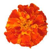 Orange carnation — Stock Photo