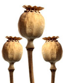 Three Opium poppyhead — Stock Photo