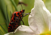 Scarlet lily beetle — Stock Photo