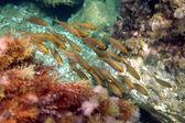 Shoal reef fish — Stock Photo