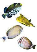 Tropical reef fishes — Stock Photo