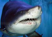 акула — Стоковое фото