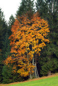 Autumn tree. — Foto Stock