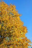 Autumn tree. — Stock fotografie