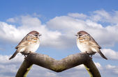 Fatty House Sparrows — Stock Photo