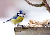 Great tit on the bird table — Foto Stock