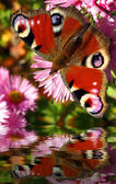 Beautiful european butterfly Inachis — Stock Photo