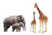 Collection biggest african mammals — Stock Photo