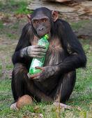 Chimpanzee and plastic bottle — Stock Photo