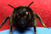Bumble bee — Stock Photo