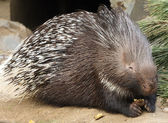 Porcupine in ZOO Prague — Stock Photo