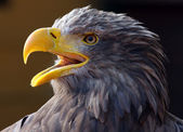 Screaming eagle — Foto de Stock