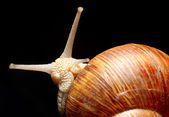Garden Snail — Stock Photo