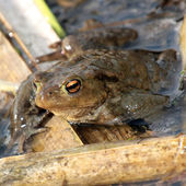 True toad - closeup — Stock Photo